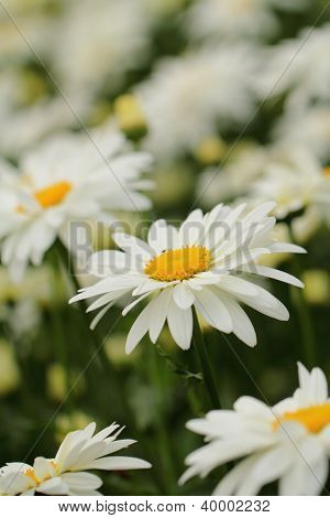Beautiful Camomile Flowers