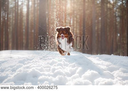 Dog In The Snow On Nature. Australian Shepherd In Winter Season