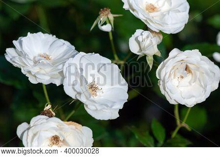 Spinnaker Amorina Pure White Garden Roses Bred By De Ruiter