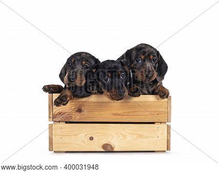 Three Super Cute Black Tiger And Balck And Tan Dachshund Aka Teckel Dog Puppies, Hanging Over Edge O