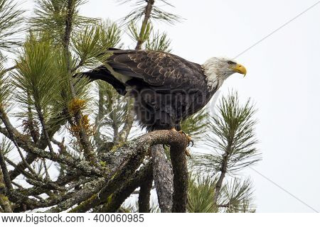 A Bald Eagle Perched On A Branch Defecates In Order To Do More Hunting In North Idaho.