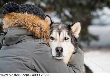 Devoted Alaskan Malamute Hugging With Woman In Winter Forest. Close Up.