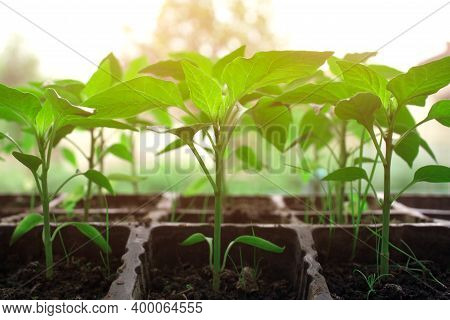 Closeup Of Seedling Of Green Plants In Pots On Window Sill - Bell Peppers Or Other Vegetables Seedli