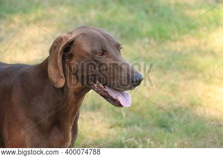 German Shorthaired Pointer, 8 Year Old Solid Liver Female Dog