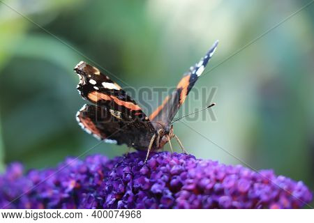 Atalanta Or Red Admiral On Purple Summer Lilac