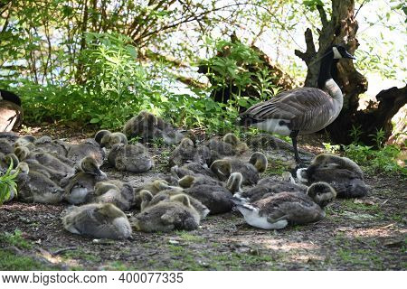 A Flock Of Baby Canada Goose Geese Gosling Nestling Together Near A Pond Lake