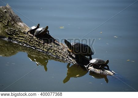 Group Of Turtles Sitting Together, Sunny Themselves On A Log, Tree Stump In A Lake Pond