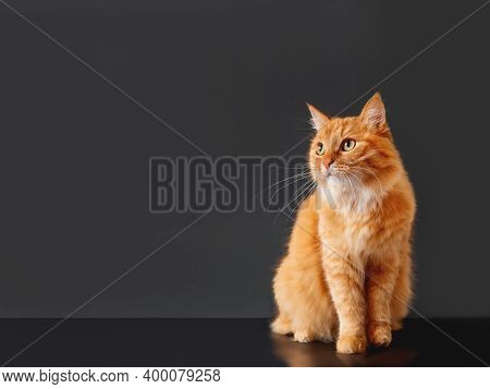 Cute Ginger Cat On Black Background. Fluffy Pet On Dark Backdrop. Copy Space.