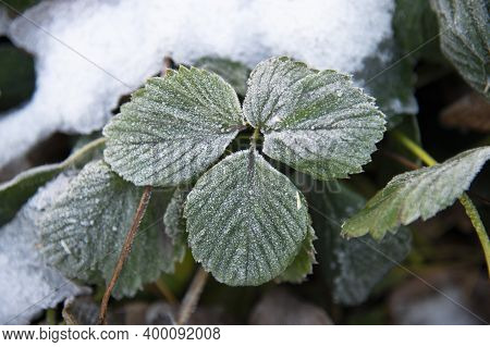 Green Leaves Of A Strawberry Bush Covered With Frost In The Snow. The Concept Of The First Frost And