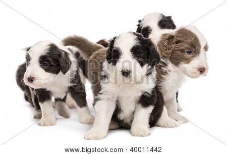 Bearded Collie puppies, 6 weeks old, sitting together against white background