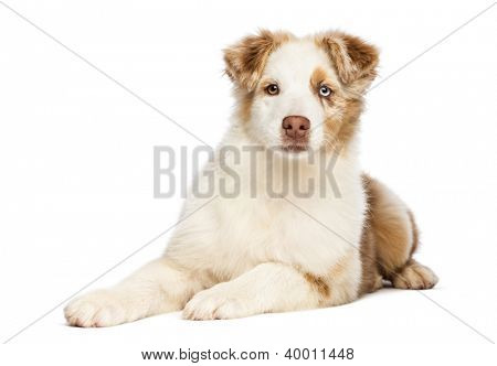 Australian Shepherd puppy, 3.5 months old, lying and looking at camera against white background