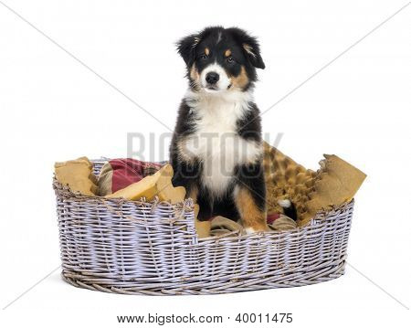 Australian Shepherd, 3 months old, sitting in dog bed against white background