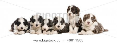 Group of Bearded Collie puppies, 6 weeks old, sitting and lying in a row against white background