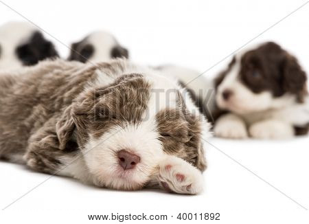 Close up of a Bearded Collie puppy, 6 weeks old, sleeping and in the background others are lying against white background