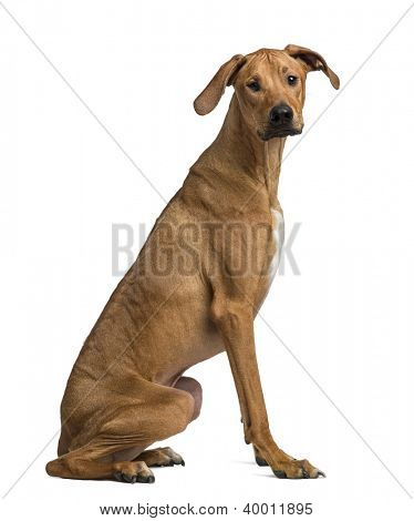 Rhodesian Ridgeback sitting and looking at camera against white background