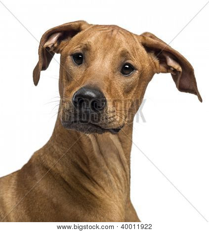 Close up of a Rhodesian Ridgeback looking at camera against white background