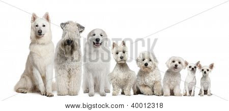 Group of white dogs sitting, from taller to smaller against white background