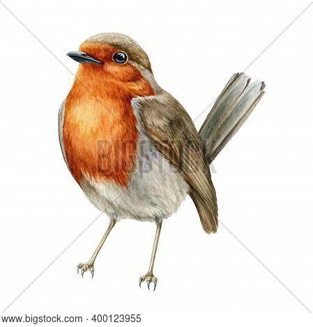 Robin Bird Watercolor Illustration. Hand Drawn Close Up Small Garden Avian. Beautiful Song Bird Sing