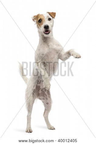 View througth a glass of a Parson Russell Terrier on hind legs, leaning against the glass against white background