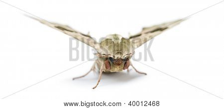 Lime Hawk-moth, Mimas tiliae, against white background
