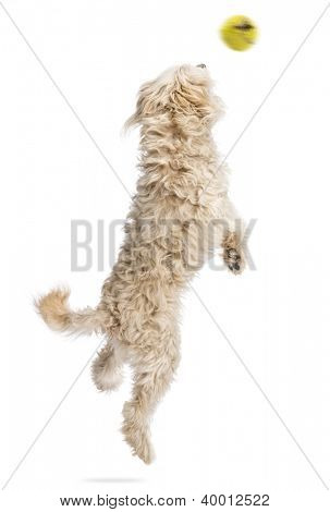 Rear view of a dog jumping after a flying ball against white background