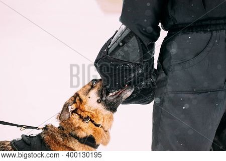 Training Of German Shepherd Young Dog Or Alsatian Wolf Dog. Attack And Defence. Winter Snowy Day. Cl
