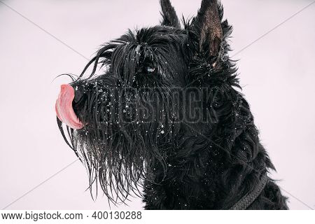Close Up Portrait Of Young Black Giant Schnauzer Or Riesenschnauzer Dog At White Winter Snow Backgro