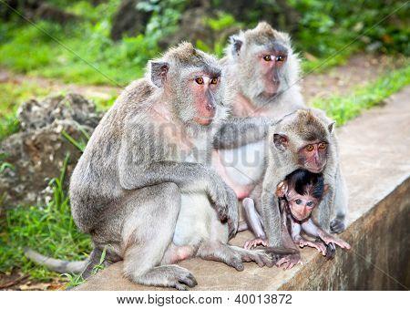 Monkey family in Uluwatu on Bali, Indonesia.