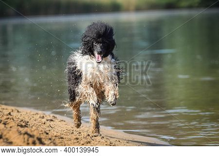Puppy Of Poodle Is Running In Sand. He Is So Dirty Dog Now.