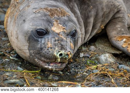 Close-up Of A Female Elephant Seal. Snot From An Elephant Seal.