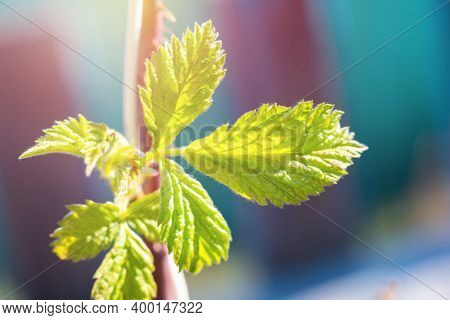 Young Green Raspberry Branch. Sprout Of Berry Bush Raspberry On Bright Daylight At Springtime. Raspb