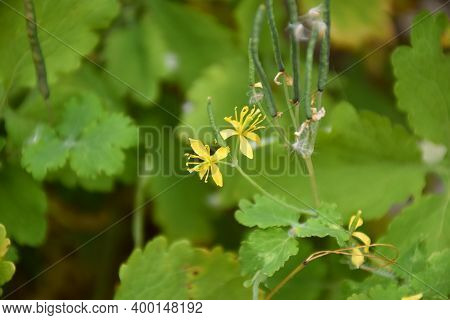 Chelidonium Majus Plant In Bloom, Yellow Flower. Its Latex Is Used To Heal Warts.