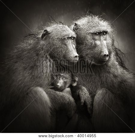 Two adult baboons protecting an infant from rain (Artistic processing)