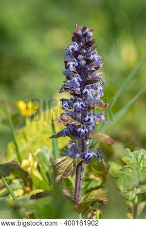 Bugle (ajuga Reptans) Flower