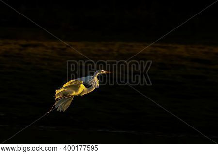 A Shallow Depth Of Field Image Of A Great White Egret Also Known As Common Egret Or Large Egret And