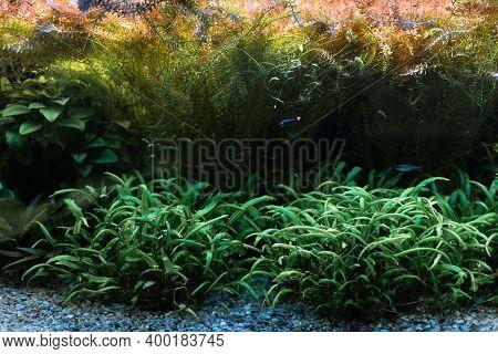 Beautiful Freshwater Aquarium With Green Plants And Many Fish. Freshwater Aquarium With A Large Floc