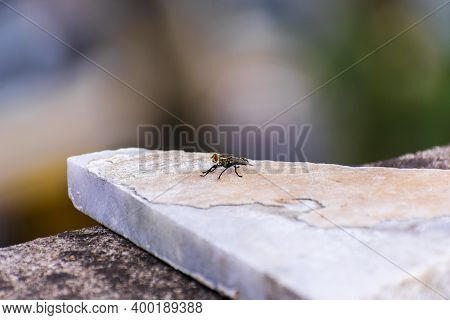 Indian House Fly (musca Domestica) Sitting On A Marble Slab Piece Kept On A Ledge.