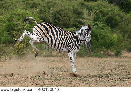 The Plains Zebra (equus Quagga, Formerly Equus Burchellii), Also The Common Zebra Or Burchell\'s Zeb