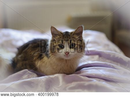 Close-up Of A Little Kitten Lies On The Bed. Funny Animals. Beautiful Fluffy Tricolor Kitten. Affect