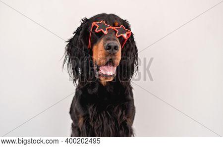 Scottish setter dog wearing sunglasses