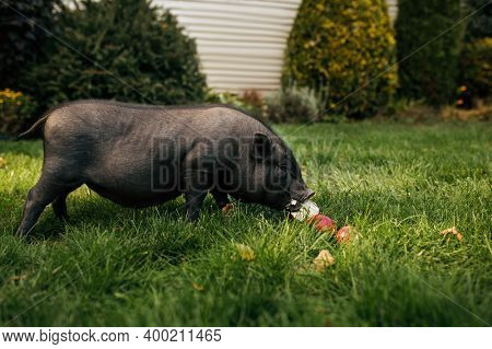 Black pig eats apples on the grass in the garden