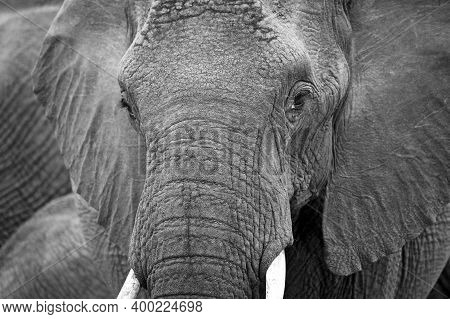Close-up Of An African Elephant (loxodonta Africana). Kruger Park, South Africa