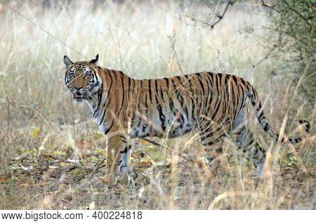 Bengal Tiger (panthera Tigris Tigris) In High Grass, Looking Into The Camera. Bandhavgarh, India