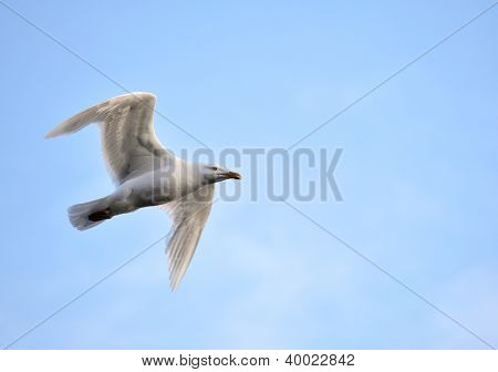 Glaucous Gull (Larus hyperboreus) on the wing - Arctic