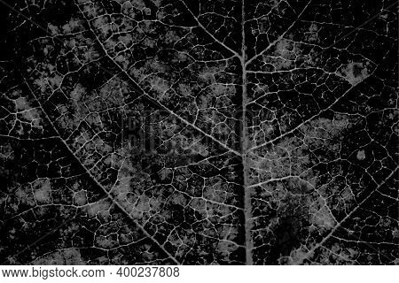 Tree Leaf Structure With A Network Of Veins Close Up. Horizontal Ominous Almost Black Vegetal Backgr