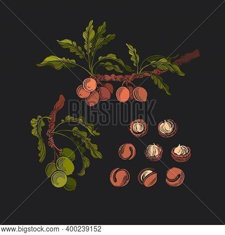 Vector Macadamia Set, Fresh Nut With Husk Or Pericarp Cut In Half. Botanical Tree, Branch, Leaves, G