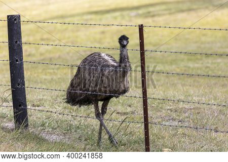 An Australian Emu Walking Along A Barbed Wire Fence In The Outback In Regional Australia