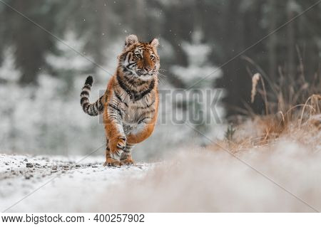 Siberian Tiger (female, Panthera Tigris Altaica) Running Against The Camera. Front View, Action Shot