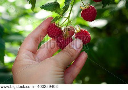 Raspberries. Male Hand Picks Berries Of Ripe Red Raspberries On A Background Of Green Raspberries. C