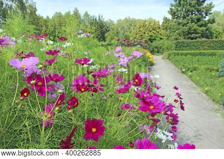 Cosmos Bipinnatus Blooming In Garden. Red Flowers Near Path. Decoration Of Footpath. Flowers Of Cosm